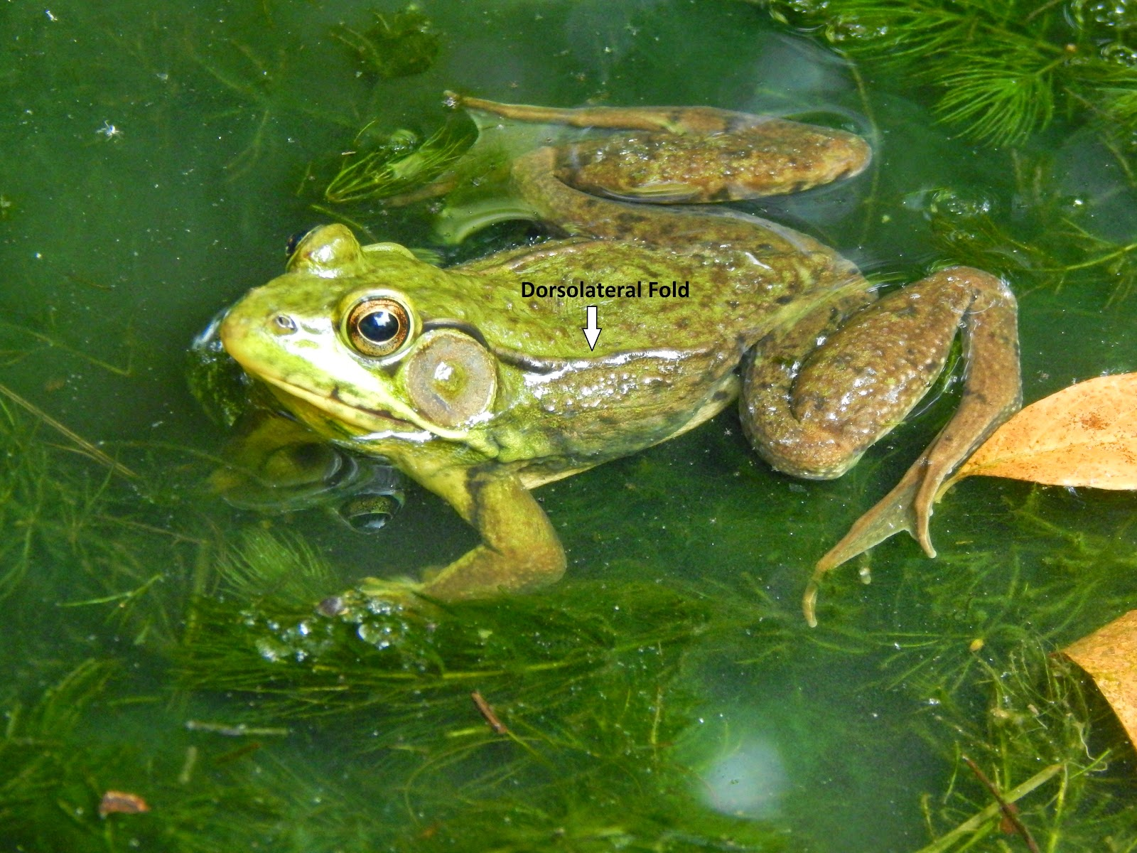 A male green frog showing the large tympanum (ear drum ...