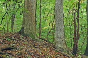 A wooded parcel in Arlington's Glen Carlyn Park was recognized by the Old Growth Forest Network.