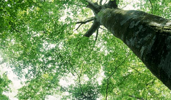 big-tree