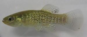 Mummichog Fish