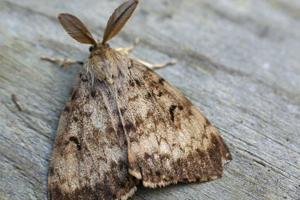 a gypsy moth
