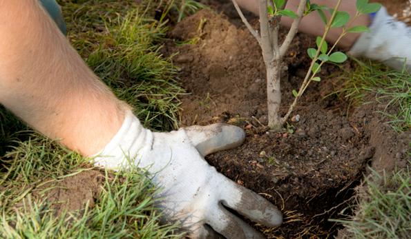planting a tree