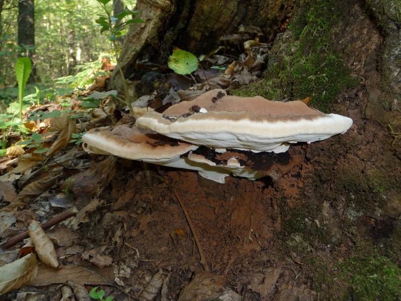 The Fungus Among Our Trees Natural Arlington