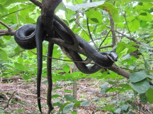 Eastern (Black) Ratsnakes are excellent climbers and are often seen basking in trees.