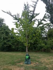 Watering bag on tree