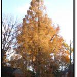 Dawn Redwood, Arlington County