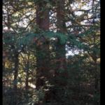 Eastern Arborvitae