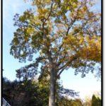 Pignut hickory - 1604 S Lynn St