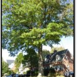 Pin oak - 2433 N Quantico St