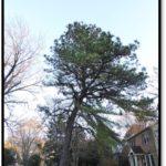 Pitch pine - 1224 N Dinwiddie St