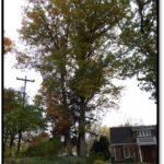 White oak - 4518 N Old Glebe Rd