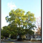 Willow Oak - 522 26th St S