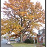 Willow Oak - 929 N Potomac St