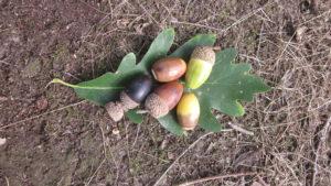 Saul's oak