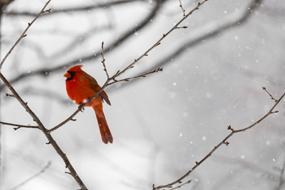 Male Northern Cardinal (Cardinalis cardinalis) In a Blizzard
