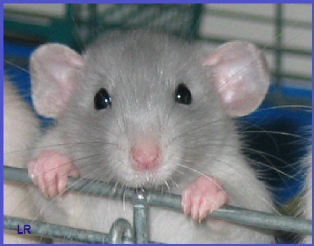 Rats and Mice - Health