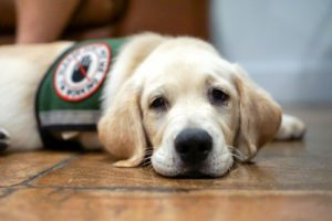 Service dog laying down
