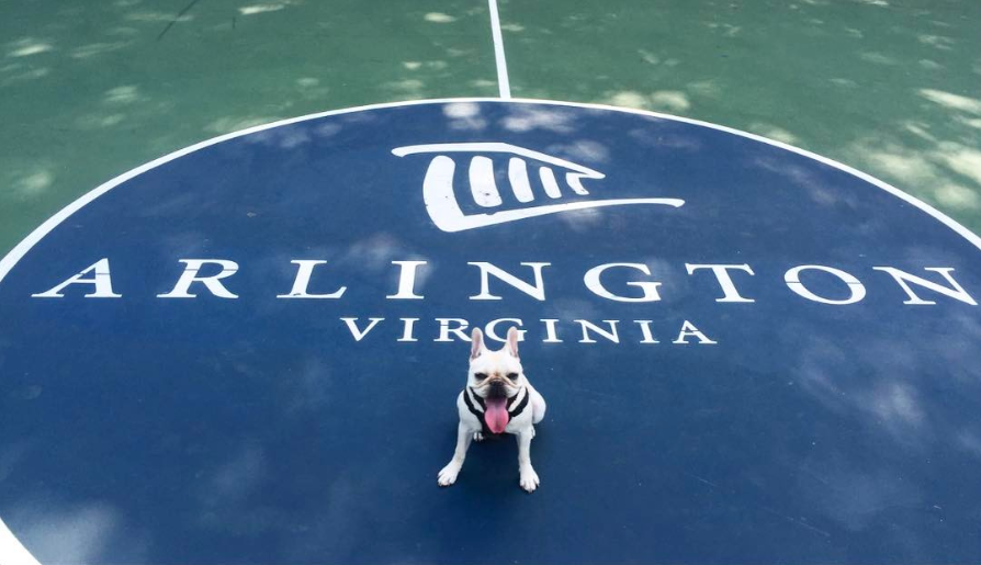 french bulldog posing in front of arlington county logo
